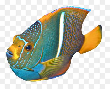 Freshwater Angelfish Marine Angelfishes Coral Reef Fish Emperor