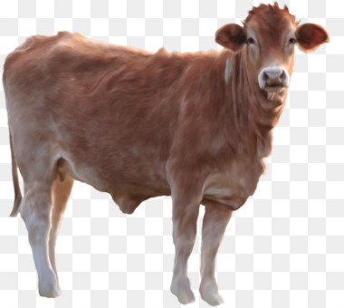 Holstein cows eating in a cowshed stock image image of calf.