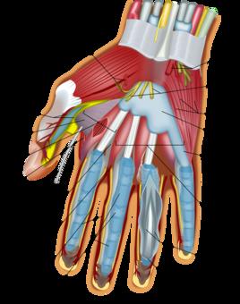 thumb handshake finger digit free commercial clipart thumb hand
